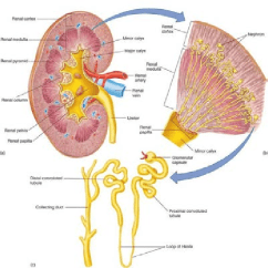 Kidney Nephron Structure Diagram 2002 Vw Passat Fuse The Anatomy Of And Which Contains Collecting Duct