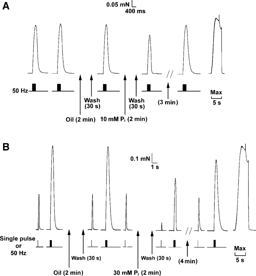Effect of 10 mM and 30 mM Pi exposure on tetanic force