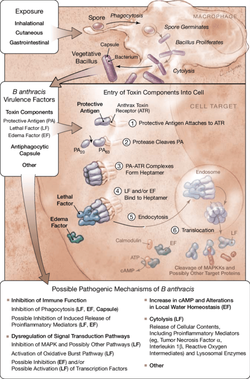 small resolution of pathogenesis of bacillus anthracis