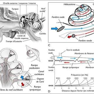 à gauche) A) Section du tour basal d'une cochlée humaine