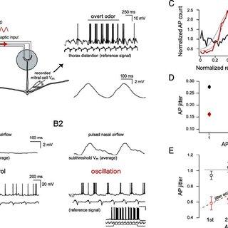 (PDF) Neuronal Oscillations Enhance Stimulus