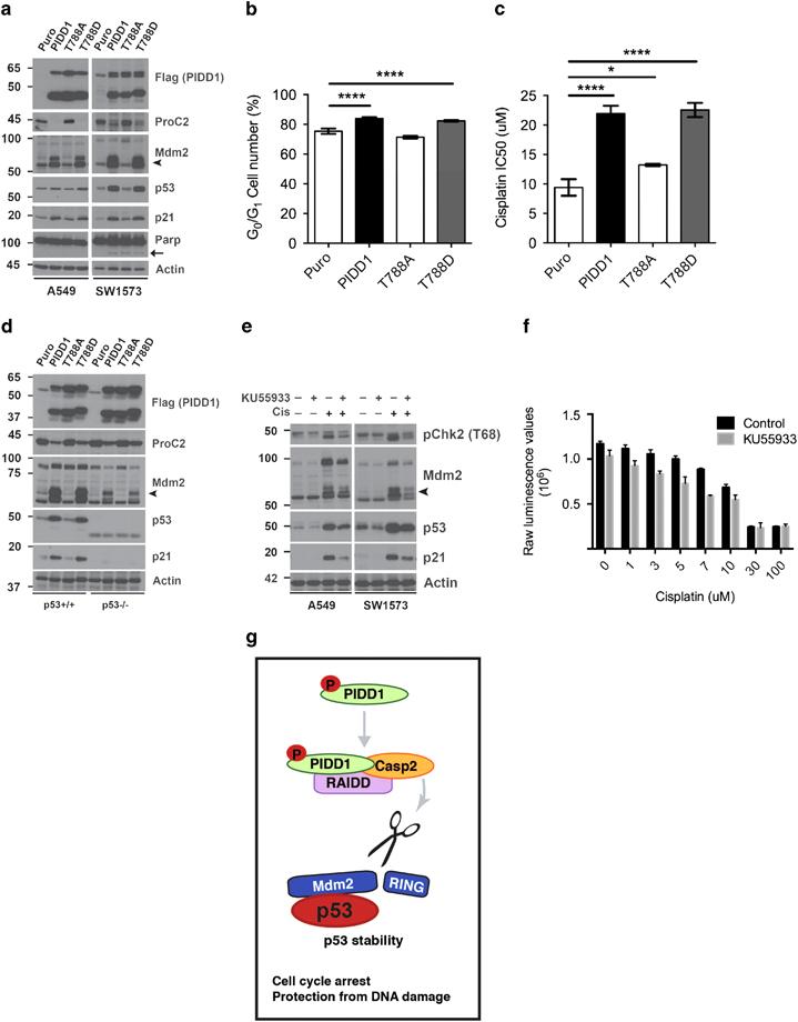 PIDD1 phosphorylation regulates Mdm2 cleavage and p53