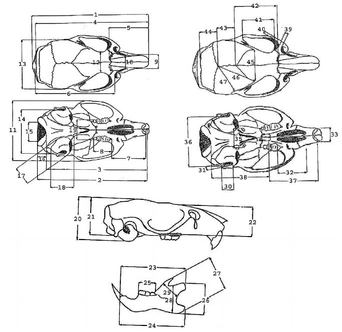 Points of measurements for craniometric description in the