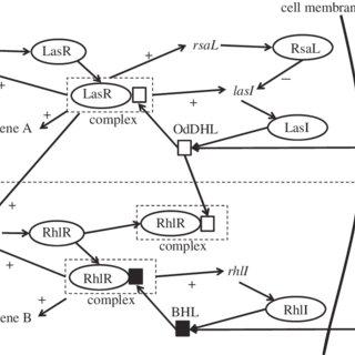 A schematic diagram describing the quorum-sensing system