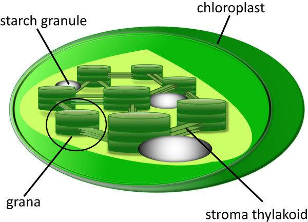 Confocal Microscopy Plant