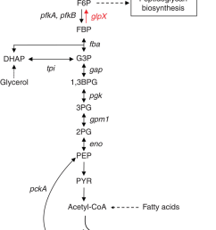 enzymatic diagram of glycolysis best wiring diagram enzymatic diagram of glycolysis [ 850 x 1300 Pixel ]