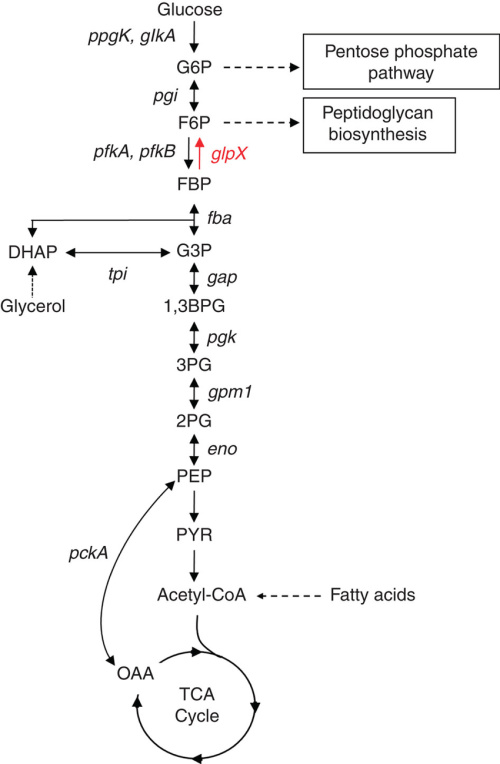 small resolution of enzymatic diagram of glycolysis best wiring diagram enzymatic diagram of glycolysis