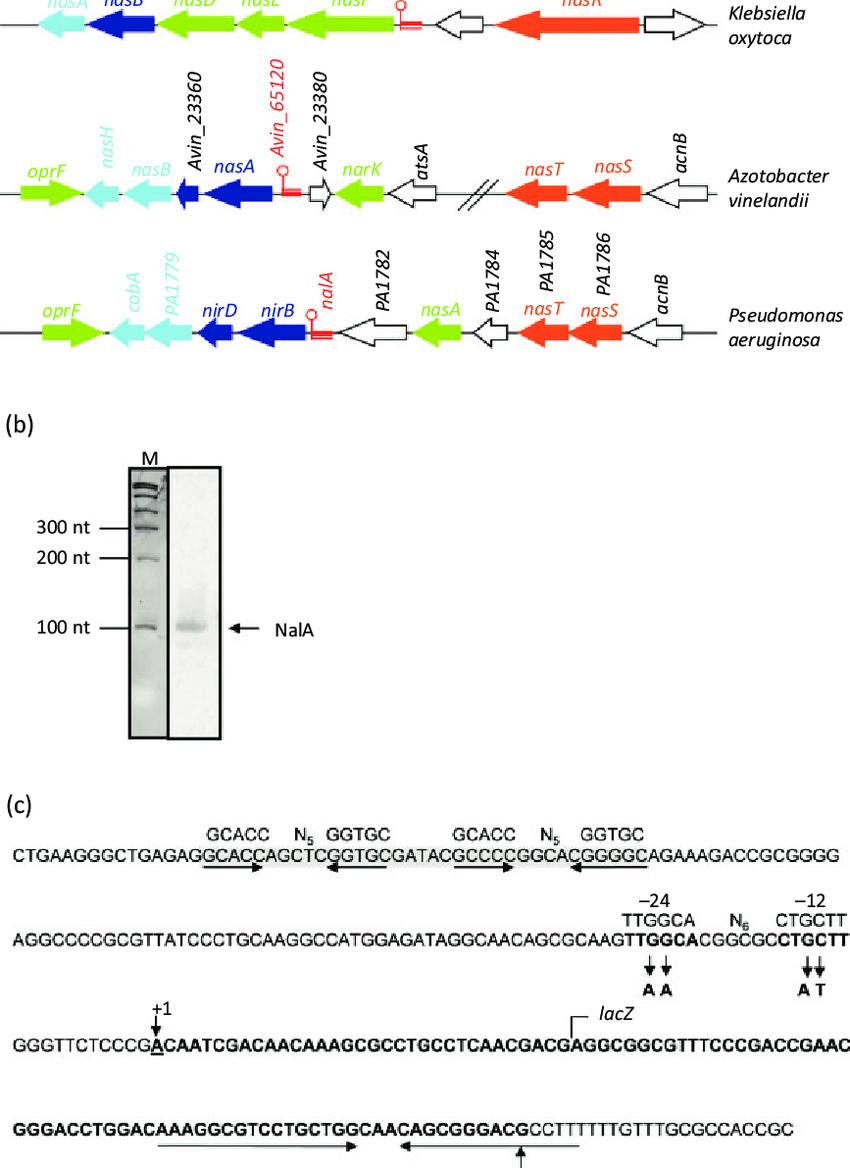 hight resolution of  a genetic organization of the nitrite nitrate assimilation operons in k oxytoca
