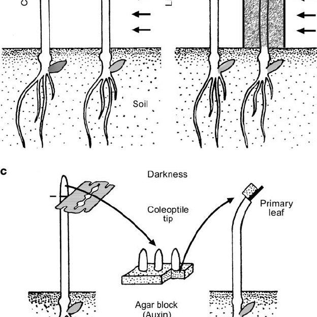 (PDF) Evolutionary plant physiology: Charles Darwin's