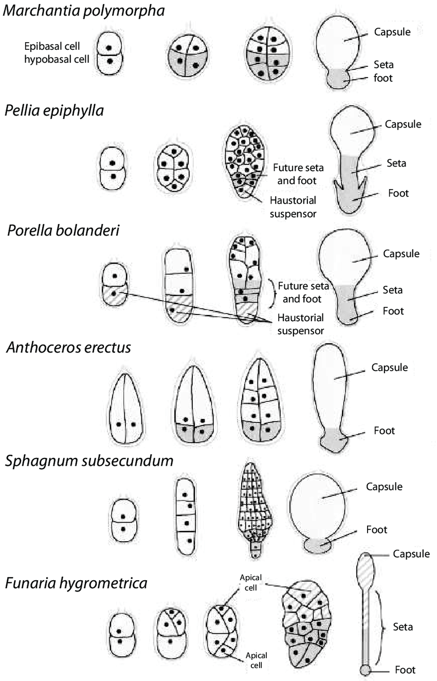 hight resolution of exoscopic sporophyte embryo development of representative nonvascular land plants beginning with the first division of