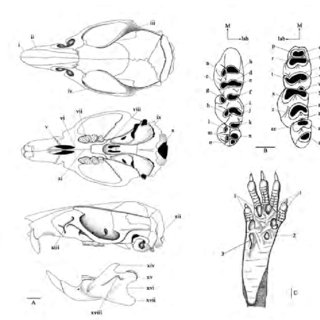 (A): External characters of a murine rodent (Maxomys