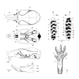 Skull and dentition of Leopoldamys sabanus (54-1319 CTNCR