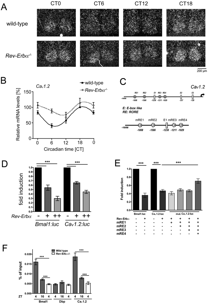 Ca v 1.2 is expressed in a circadian fashion in the Scn