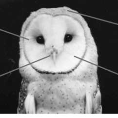 Snowy Owl Adaptations Diagram Opel Vectra C Wiring Head Great Installation Of And Positions Feathers Investigated In This Study Rh Researchgate Net Barn Diorama