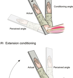 a flexion conditioning of elbow muscles the blindfolded [ 850 x 1211 Pixel ]