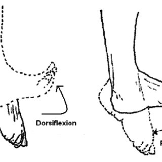 Ankle joint representing dorsiflexion and plantar flexion