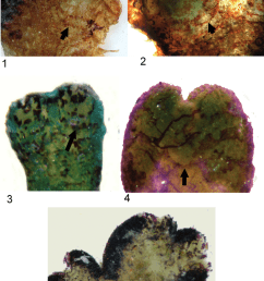 ve ntral surface of riccia sommieri levier showing ventral strips connected to [ 850 x 1227 Pixel ]