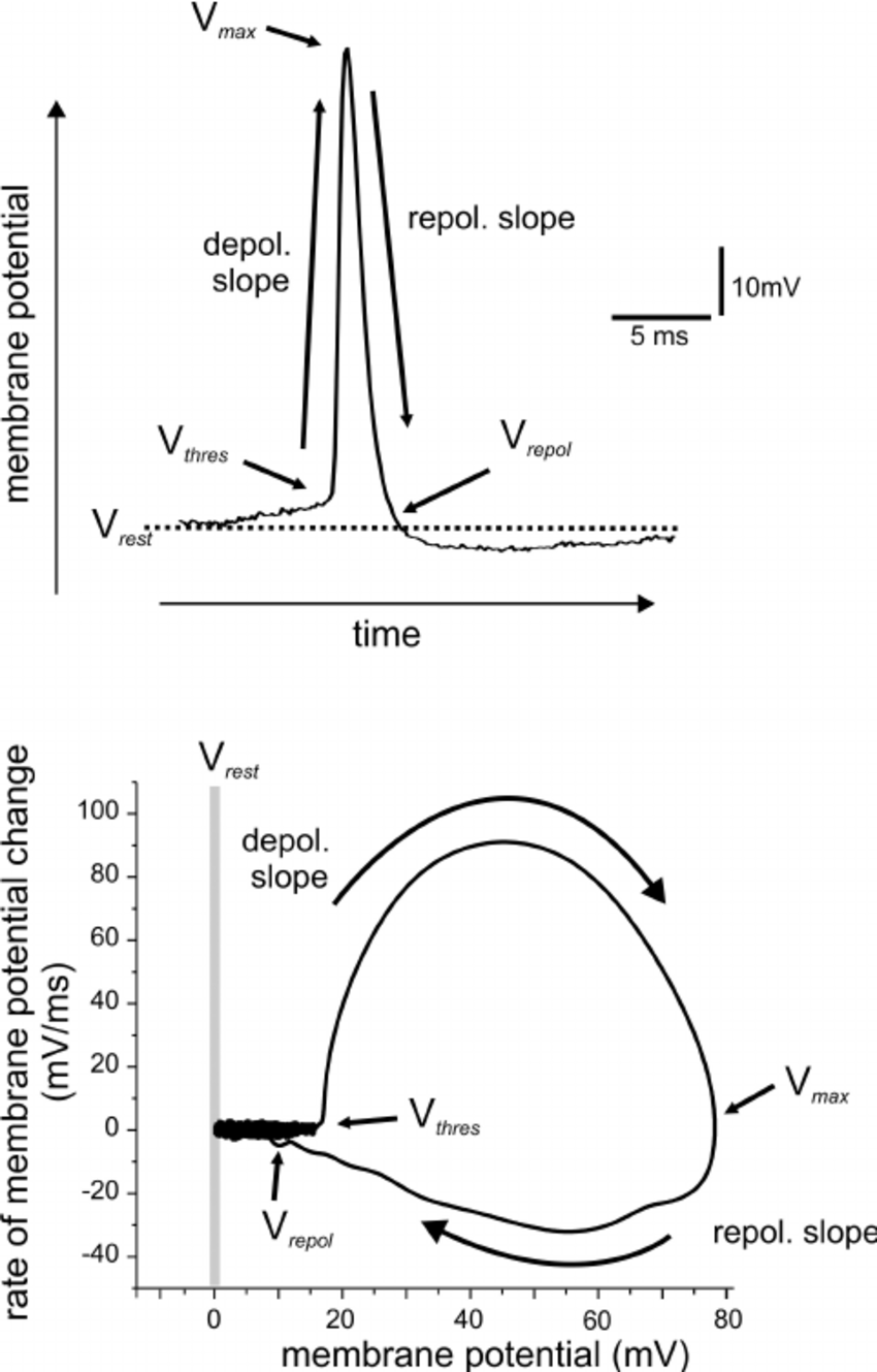 diagram of membrane potential