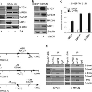 (PDF) The MRN complex is transcriptionally regulated by