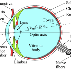 Structure Of Human Eye With Diagram Drayton Wireless Room Stat Wiring And Tissues Download Scientific