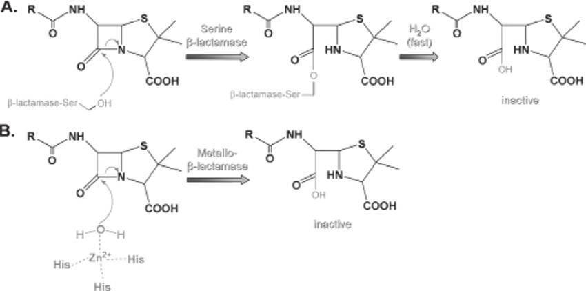 bacteria structure diagram fog light wiring toyota mechanisms of enzymatic inactivation β -lactam antibiotics. β...   download scientific