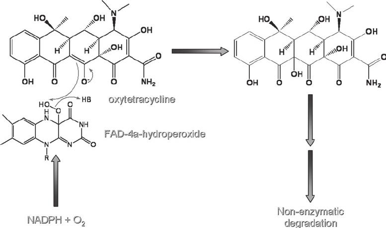 TetX-mediated inactivation of tetracycline. TetX catalyzes