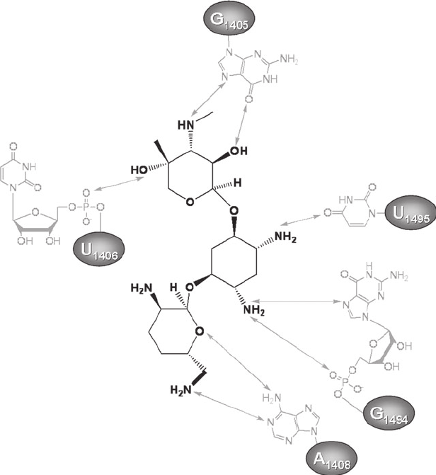 Interactions of the aminoglycoside gentamicin C1a with the