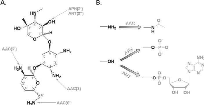 Inactivation of the aminoglycoside gentamicin C1a by