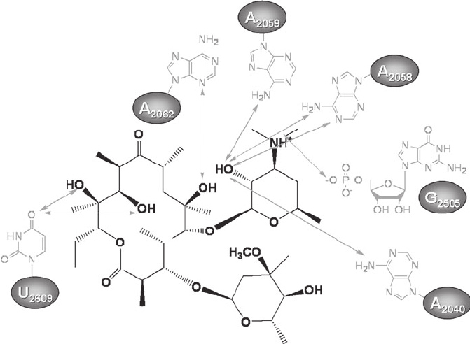 Interactions of the macrolide erythromycin with the