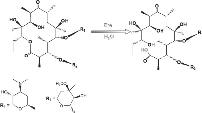 Inactivation of the macrolide erythromycin by hydrolysis