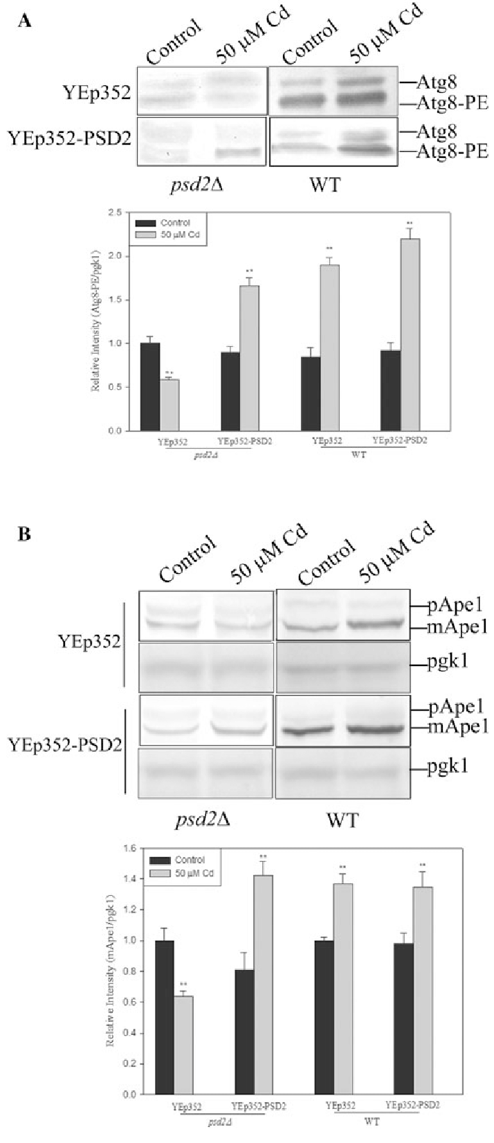 Lipidation of Atg8 and processing of Ape1 increased in