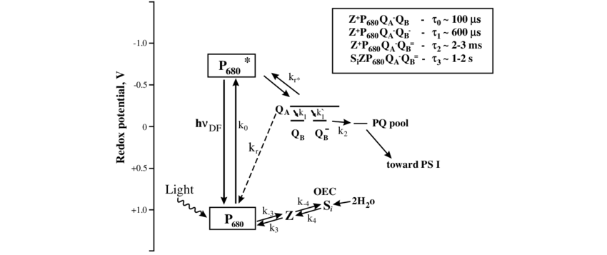 Scheme of electron transfer reactions in Photosystem II
