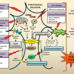 Diagram Of Sciatic Nerve Pathway 2002 Pontiac Grand Prix Wiring Pathobiology Peripheral Neuropathy Induced By Several... | Download Scientific