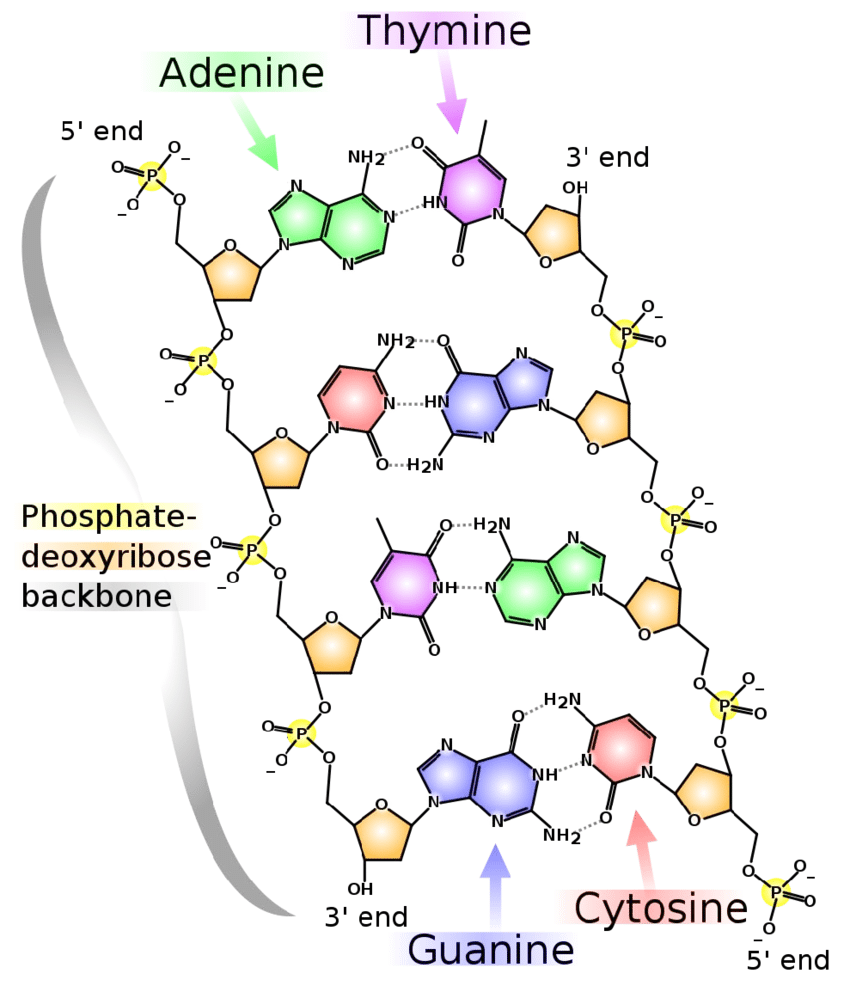 medium resolution of 1 a schematic view of a dna double helix structure two single dna strands