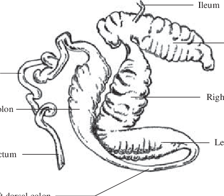 horse gi diagram service panel grounding different segments of the large intestine download