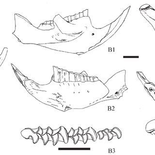 Occlusal surface of Pseudomeriones pythagorasi mo- lars