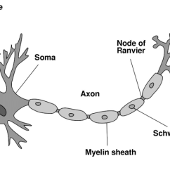Detailed Neuron Diagram Block Visio Template This Is A Schema Of From Wikipedia The Free Encyclopedia More Picture Placed In Public Domain By Its Author Ladyofhats Representing Complete Cell Can