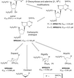 structural modifcations of the nucleoside moiety of nucleotide ligands download scientific diagram [ 850 x 1108 Pixel ]