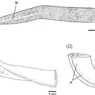 Choeradoplana benyai, sp. nov. Lemos & Leal-Zanchet: (A