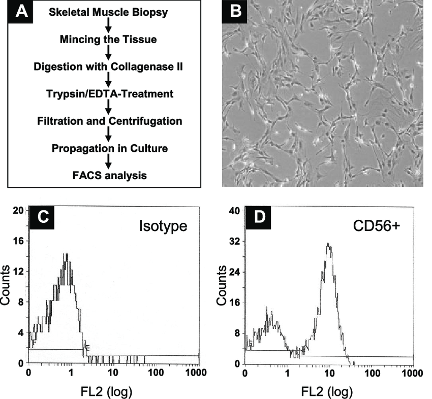 mouse skeletal diagram jvm architecture isolation and characterization of myoblasts sms a download scientific