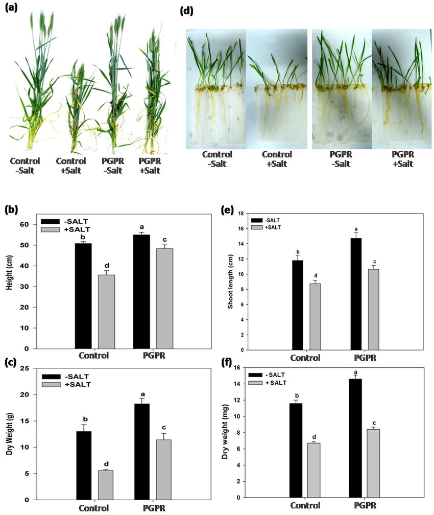 hight resolution of effect of pgpr inoculation on wheat plant growth under non saline and saline conditions