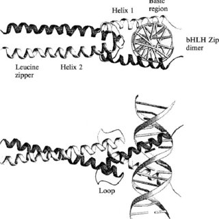 The crystal structure of dimeric Max B-HLH-ZIP domain
