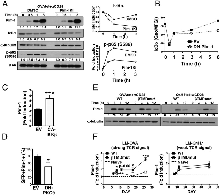 TCR-dependent NFκB signaling supports late Pim-1