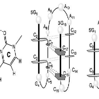 Watson Crick base pairing between Adenine : thymine and