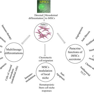 Potential application overview of iMSCs derived from