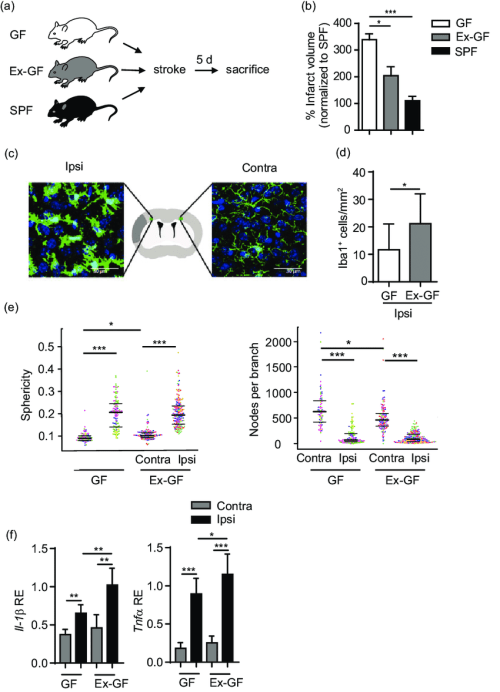 small resolution of bacterial colonization is cerebroprotective after stroke a schematic illustration of experimental paradigm