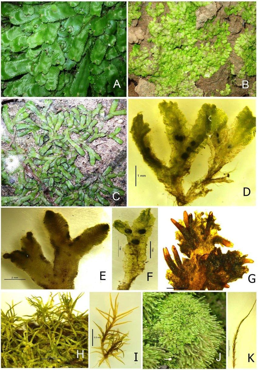 medium resolution of a plagiochasma appendiculatum b cyathodium cavernarum c riccia billardieri d