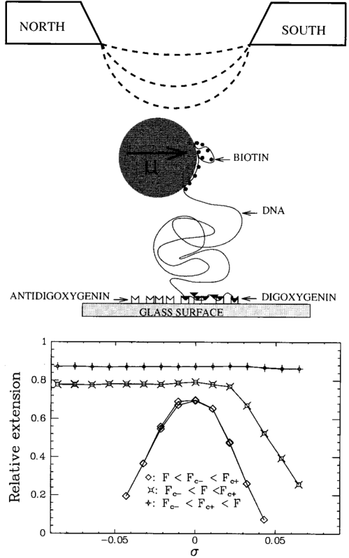 small resolution of a digbiotine end labeled dna molecule