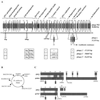 (PDF) Detailed Genomic Analysis of the W and Phages