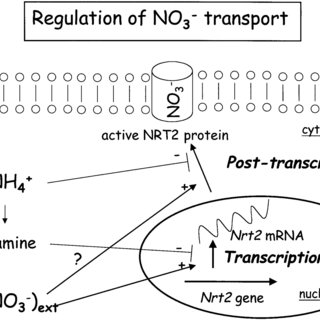 (PDF) Nitrate transport in plants: Which gene and which